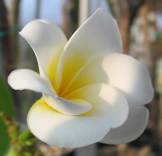 All plumeria are quality checked to ensure your total satisfaction