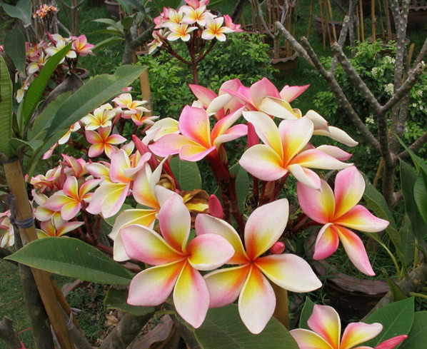 Plumeria an exotic tropical house plant flower from Thailand