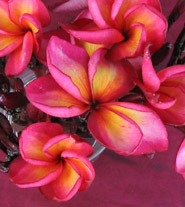Plumeria an exotic tropical house plant flower from the Far East