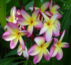 Plumerias UK, Bringing the tropics to your home