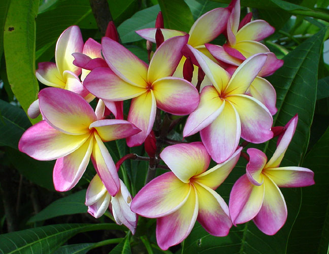 Plumeria an exotic tropical house plant flower from Hawaii - Click To Enlarge