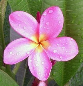 Plumeria an exotic tropical house plant flower from Hawaii