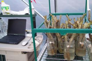 Plumeria cuttings being monitored, quality checked and prepared for rooting