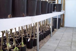 Whilst in the nursery all our plumeria are grown in pots to ensure quality and strong natural root development