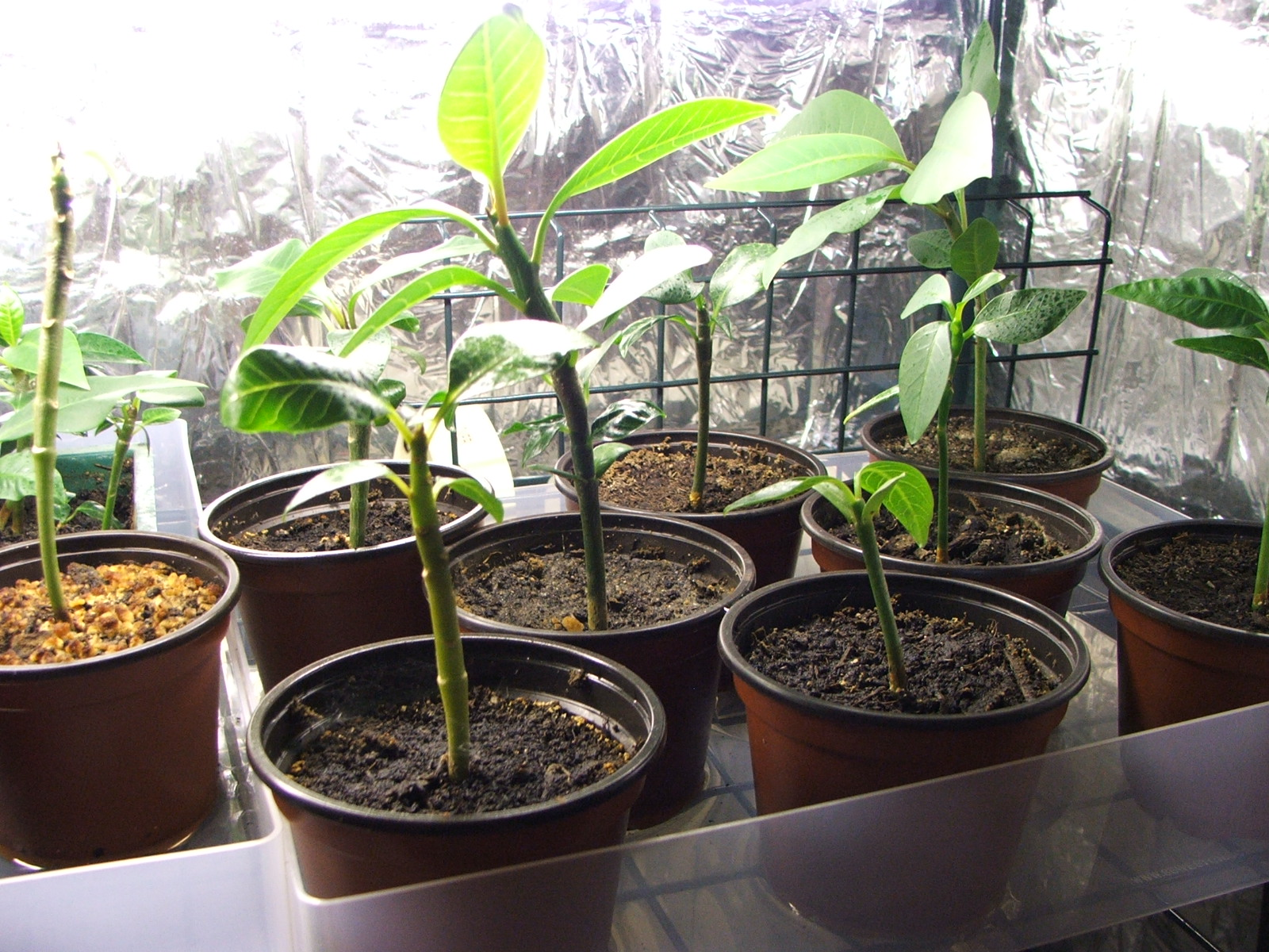 Seedlings growing strongly in the warmth and light of the nursery - Click to Enlarge