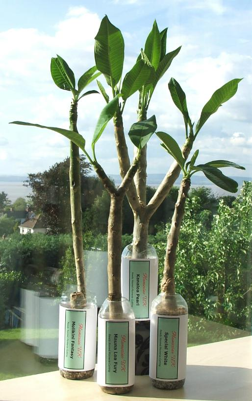 Plumeria plants already potted, in leaf and ready to go