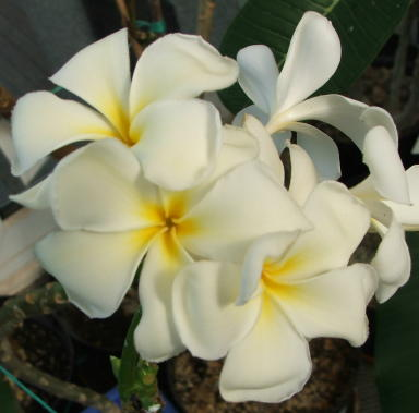 Plumeria, stunning flowers from the tropics which we can help you grow in the UK
