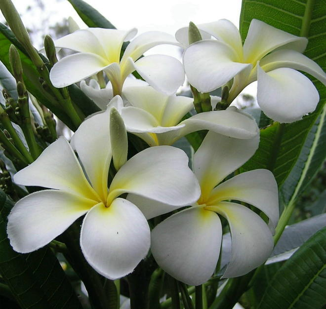 Plumeria an exotic tropical house plant flower from the Far East - Click To Enlarge